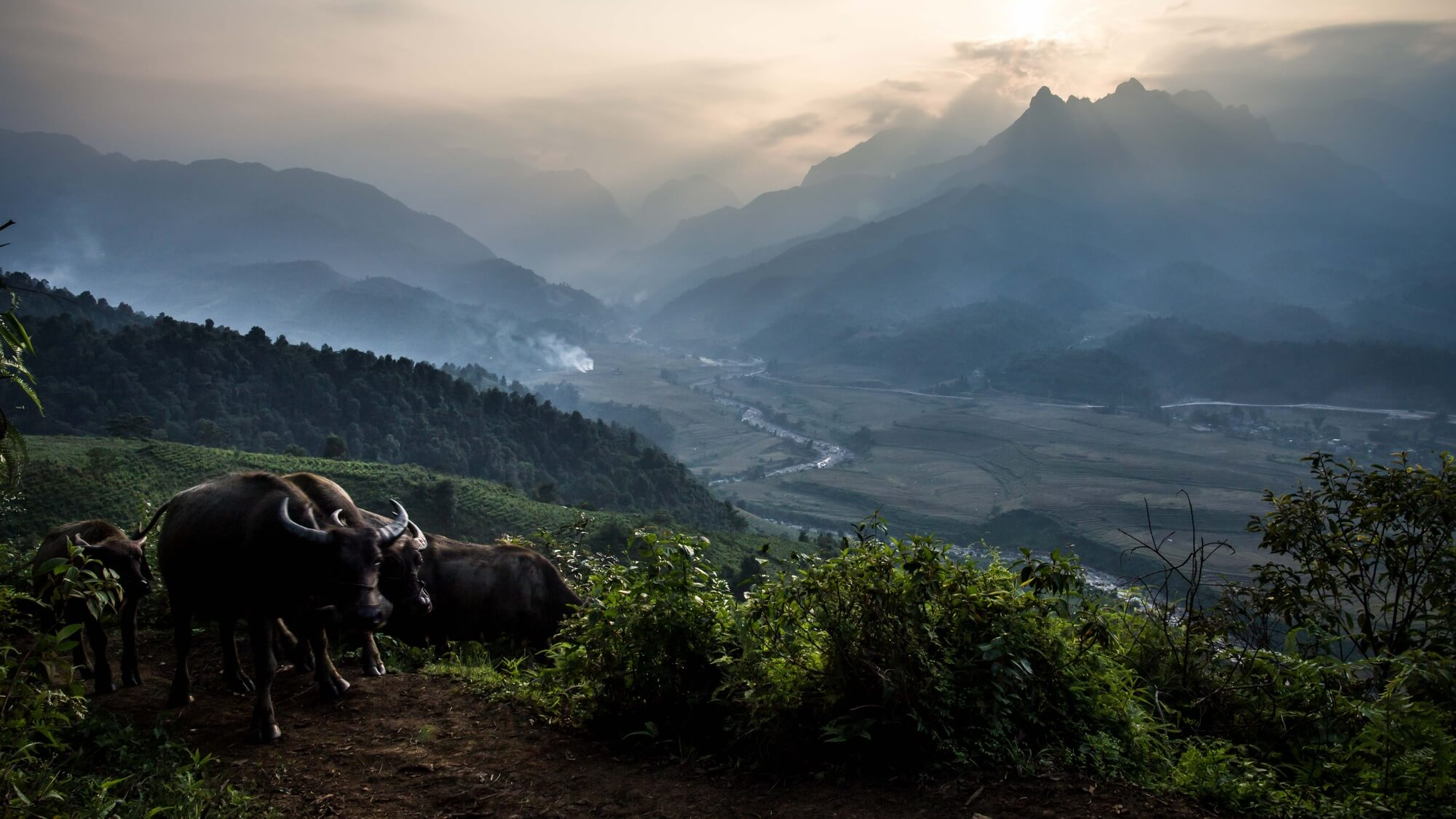 Vietnam Buffaloes with Mountainous Landscape
