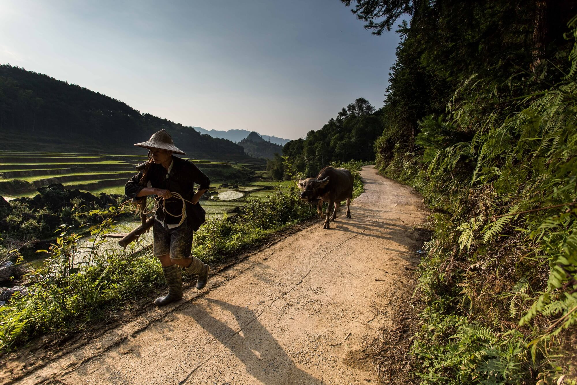 Vietnam Quan Ba minority man pulling buffalo on rice terrace backdrop