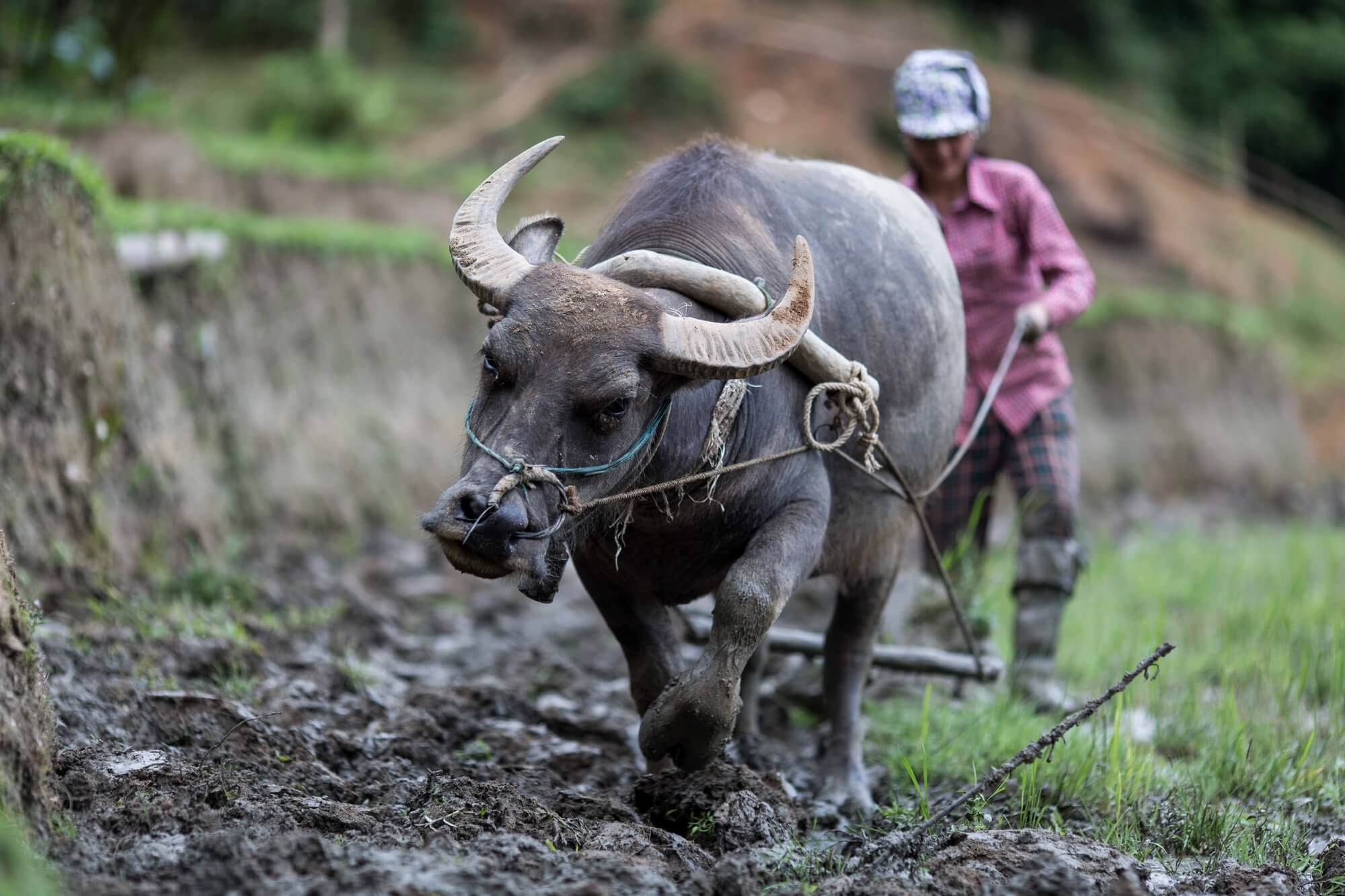 Close up of buffalo and Vietnamese minority working the rice fields
