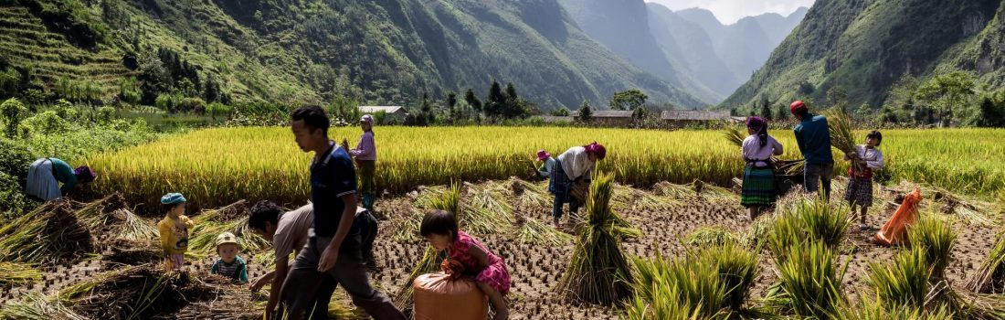 North Vietnamese family rice harvest activity on mountain plateau