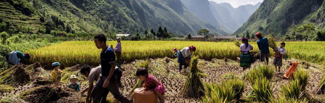 North Vietnamese family rice harvest activity on mountain plateau